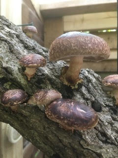 Shiitake Mushrooms Bevy Meals on Wheels Brighton